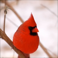 """BIG RED "" Cardinal In the Snow"