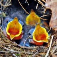 The Wren Baby Birds