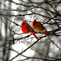 True Love Cardinal Birds in the Snow