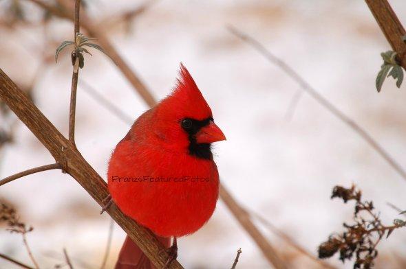 DSC_8167 cardinal name