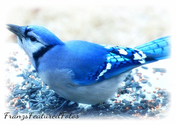 DSC_0338_edited-1 blue jay name .jpg