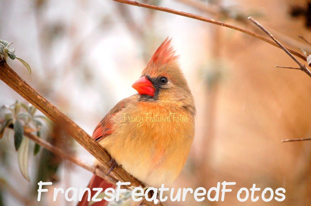 DSC_8260 female cardinal 2 name