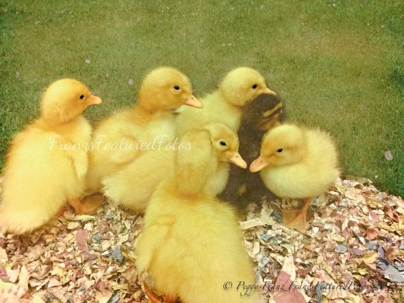 baby ducks name-2