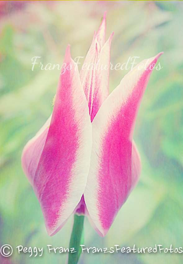flower tuluip name-wordpress