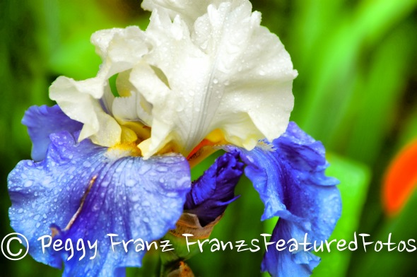 Iris  name 2-