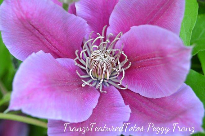 DSC_1789 Pink Clemetis name