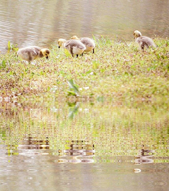 ducks jpg