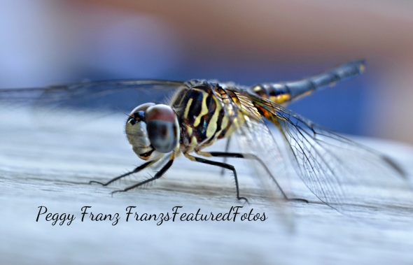 DSC_2452 DRAGON FLY YELLOW NAME