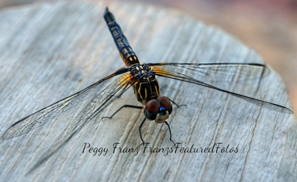 DSC_2458Dragon fly on table NAME