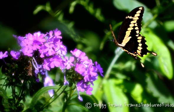 BUTTERFLY IN FLIGHT   NAME-