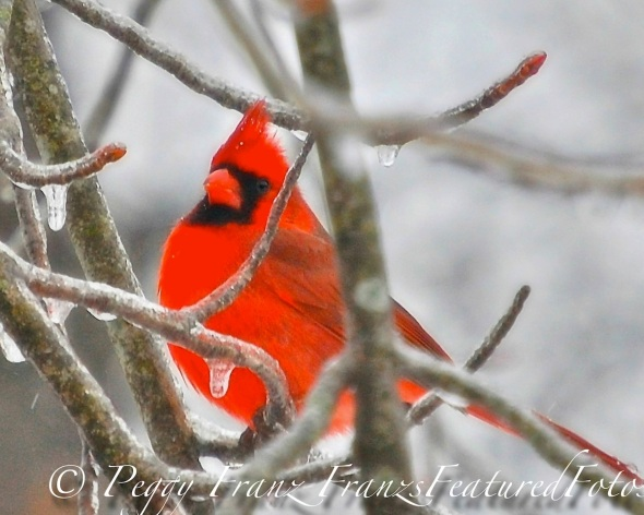 My Cardinal Bird Captures