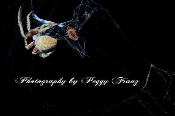 DSC_0725 spider eatting NAME