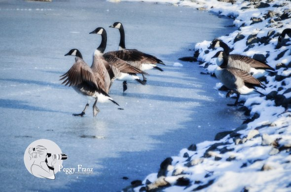 Synchronize Skating Geese