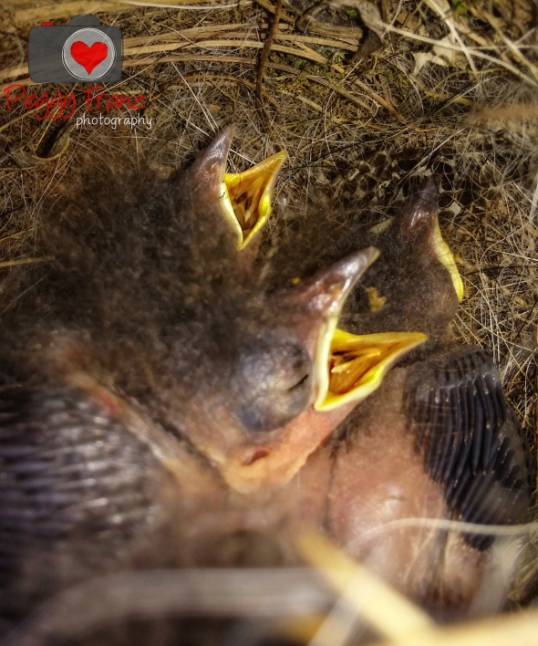 baby birds Carolina Wrens