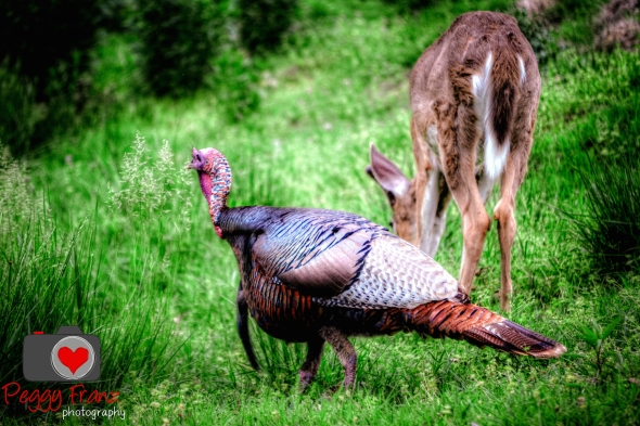 Turkey and Deer