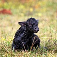 Baby Limousin Calf Just Born